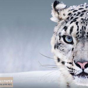 Tranh dán tường 3d động vật báo tuyết