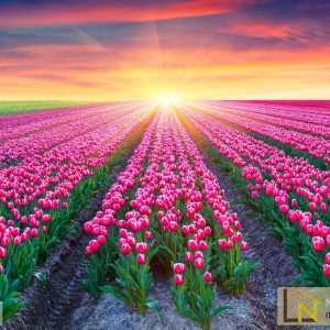 Tranh 3d cánh đồng hoa tulip