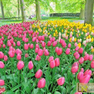 Tranh 3d vườn hoa tulip ở công viên